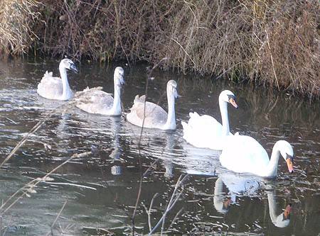 Swans near Wootton Bassett
