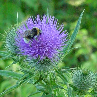 Wildlife at Westonbirt - a bee on a thistle