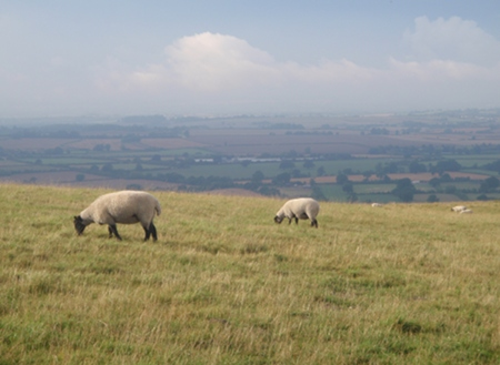 Sheep above Bratton, Wiltshire