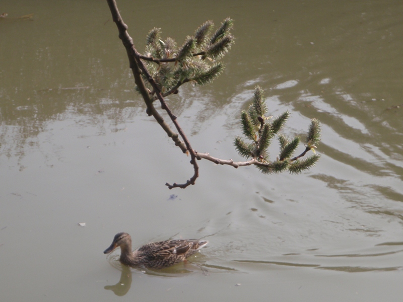 Pussy Willow and a duck