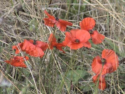 Poppys near Wilton Windmill